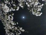 midnight_cherryblossom.JPG